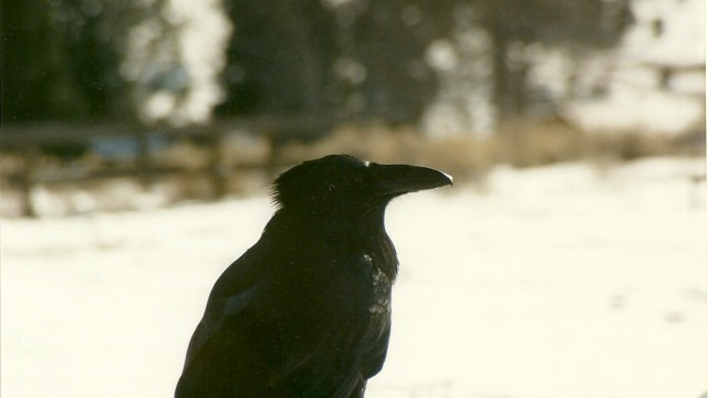 Raven in Yellowstone Nat'l Park. Copyright Withywindle Nature Programs, 2012