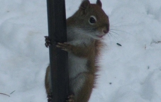 Red_squirrel1_crop