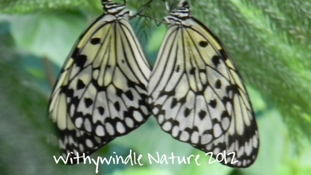 Twin Butterflies