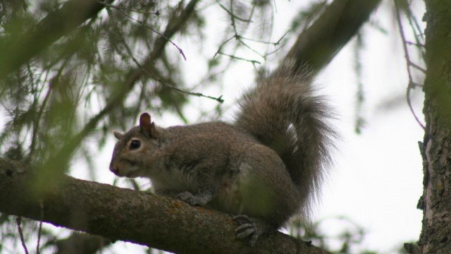 Grey Squirrel, Stirling_0986