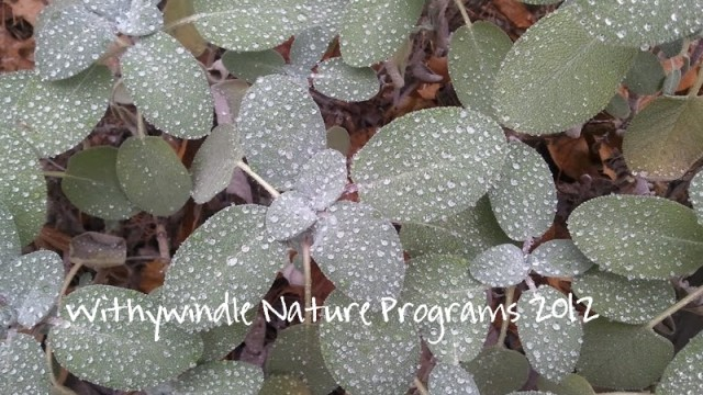 Water droplets on Sage